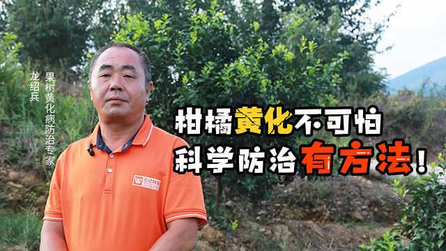 柑橘黄化怎么治?只能含泪砍树?