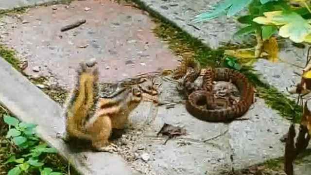生死之战!松鼠vs蛇,谁更厉害?