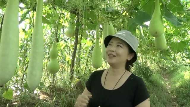 为寻心仪材料,她租5亩地种10种葫芦