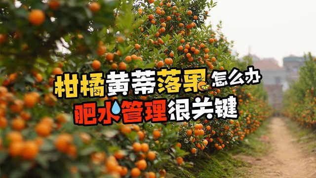 柑橘黄蒂落果怎么办?
