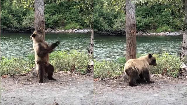 大熊找到挠痒好去处,全身来一遍