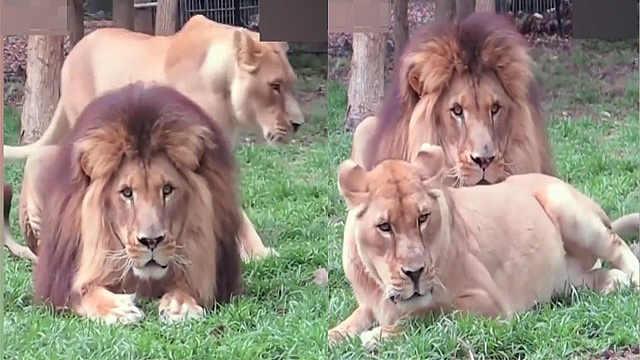 """为引起""""男票""""注意,母狮绞尽脑汁"""