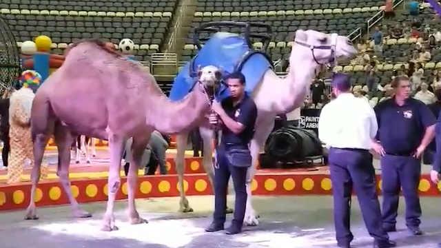 美国马戏团骆驼失控,6名儿童受伤