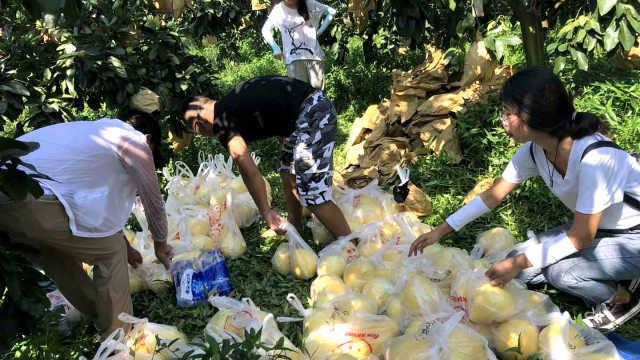 高校研究生帮果农摘柚子:做研究用