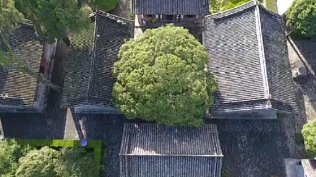 800年汉桂只有半边树干,依旧开花
