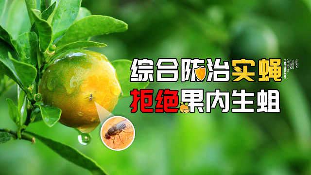 三招防治柑橘小实蝇,拒绝果内生蛆