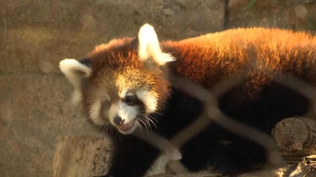 真想把圆滚滚的小熊猫抱回家啊