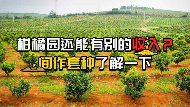 柑橘园间作套种应注意哪些?