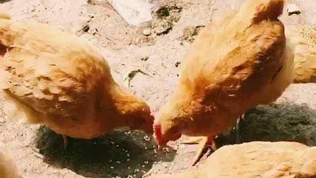 鸡为什么喜欢吃小石子?