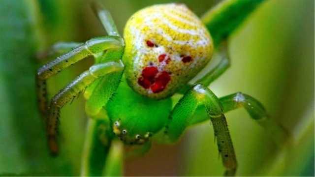 """为什么这种蜘蛛长着一张""""人脸""""?"""