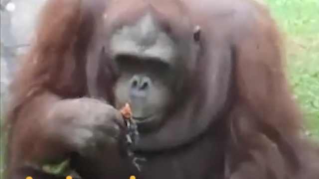 动物之间也有情:暖心大猩猩救小鸟