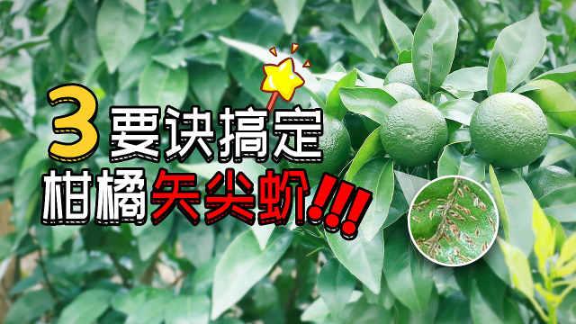 柑橘蚧壳虫猖獗,三招防治