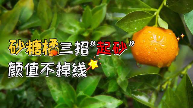 """砂糖橘""""起砂"""",颜值高价钱好!"""