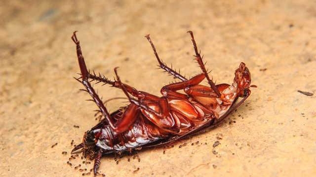 饿死一只蟑螂,到底需要多长时间?