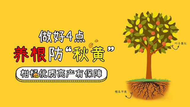 做好4点养根防秋黄,提高柑橘产量