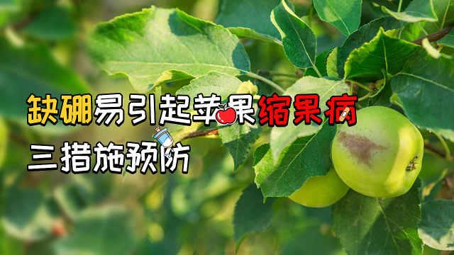 苹果缩果病严重,科学补硼来预防