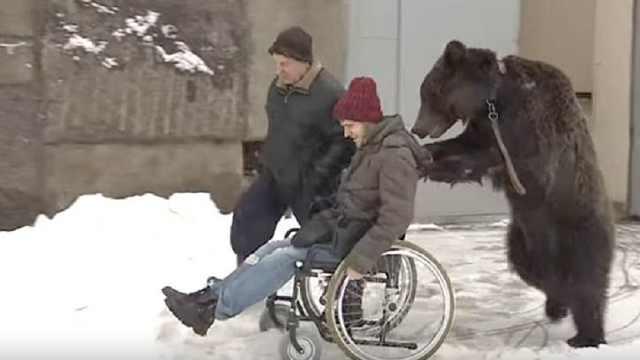俄罗斯小伙摔断腿,棕熊帮忙推轮椅