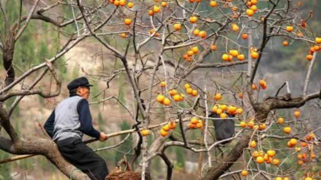 老农民在摘柿子时要在树顶留几个?