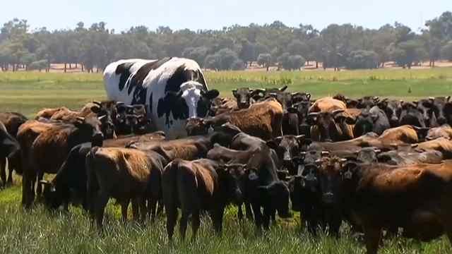 澳洲巨型牛因体型庞大被屠宰场拒收