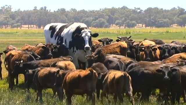 世界上最大的牛,活着走出了屠宰场