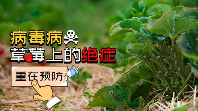 病毒病,草莓上的绝症,重在预防