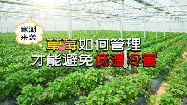 草莓如何管理才能避免低温冷害