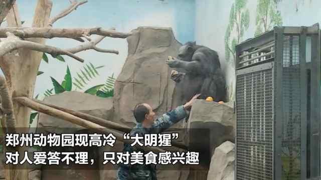 """猛犸视频丨郑州动物园的""""大明猩"""""""