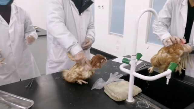 课堂作业解剖鸡,大学生:罪恶感突现