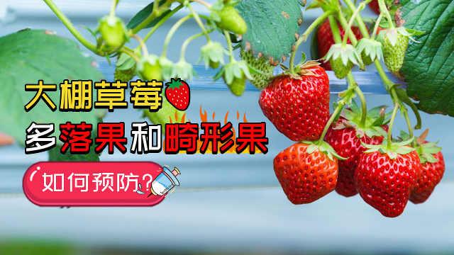 如何预防大棚草莓多落果和畸形果?