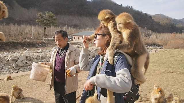 """小奥遭到数十只金丝猴""""围攻"""""""