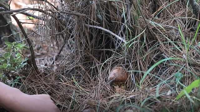 香格里拉挖掘野生松茸全攻略
