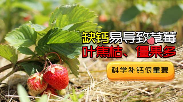 草莓缺钙影响大,科学补钙很重要