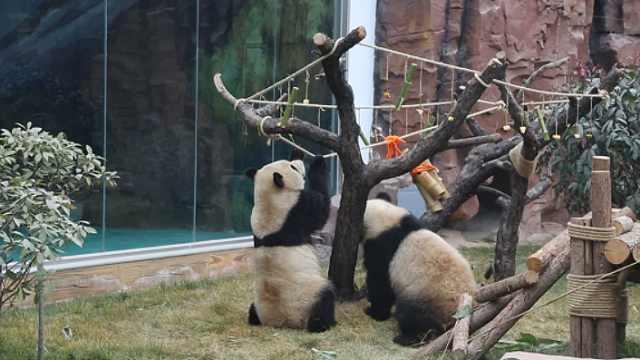 大熊猫收到新年礼物,网友:宠上天