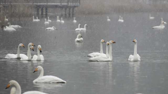 千只白天鹅逢雪起舞,宛如童话仙境