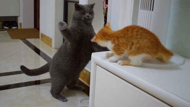 两只公猫初次见面就打架,橘猫炸毛