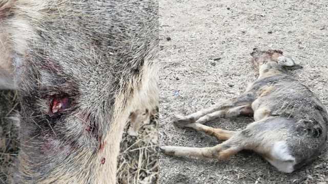 野生狍鹿遭流浪狗撕咬,村民救回1命