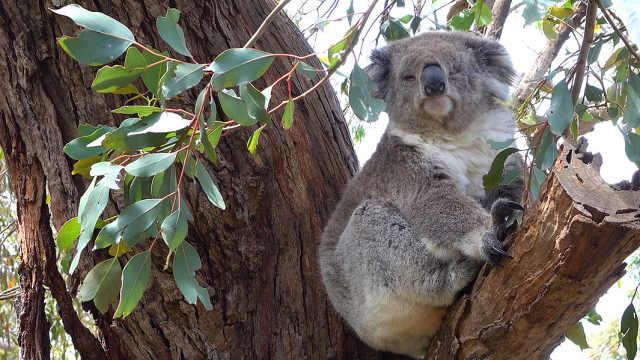 WWF警告:澳洲考拉面临生存危机