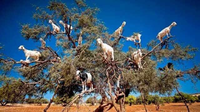 这国家的山羊集体上树,要上天吗?
