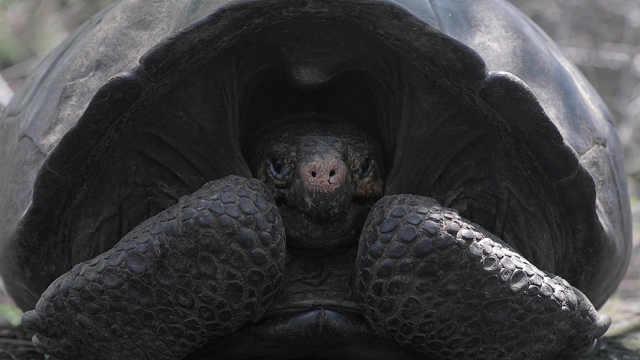 濒危巨龟百年后重现偏远海岛