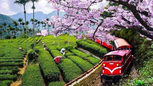 坐小火车欣赏樱花,阿里山超越京都