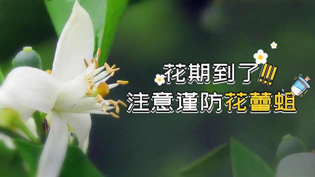 柑橘花期到了,注意谨防花蕾蛆