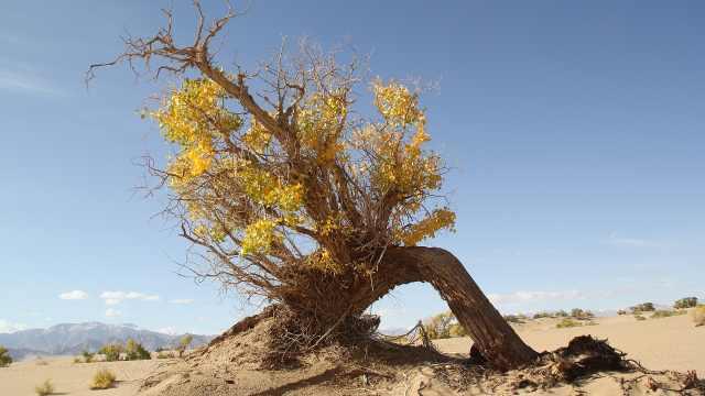 神奇的沙漠植物——胡杨