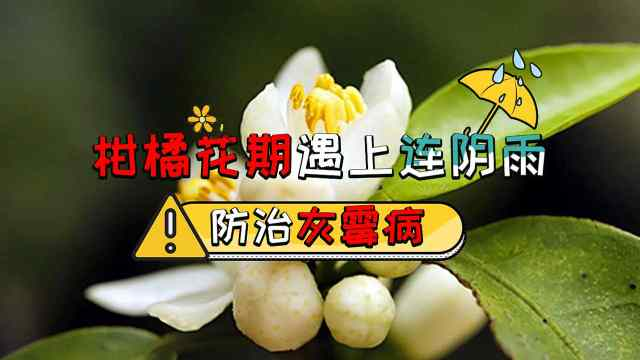 柑橘花期遇雨,注意防治灰霉病!