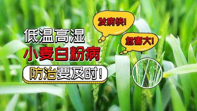 小麦白粉病如何有效防治?