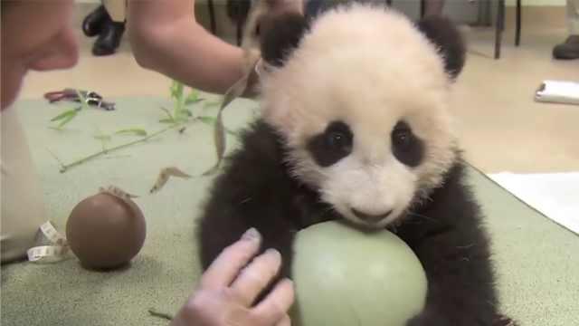 熊猫到期将回中国,美国人民要哭了