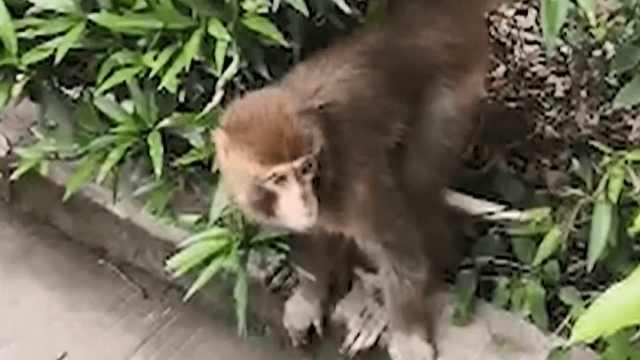 猴哥下山混吃混喝,疑被菠萝蜜吸引