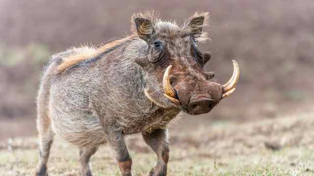 爱刨土的疣猪