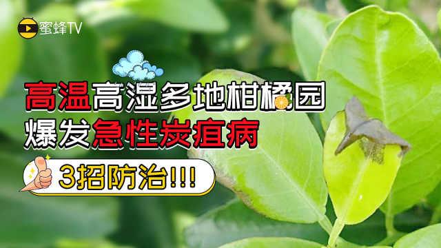 柑橘急性炭疽病,3招综合防治!